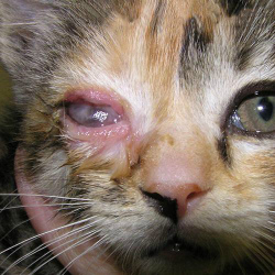 У котенка слезятся глаза что делать