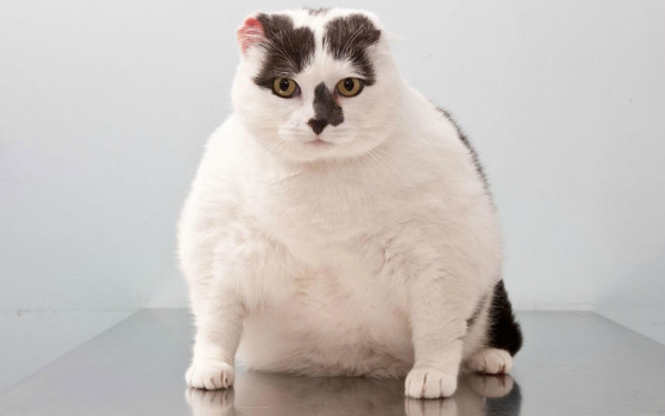 у кошки ожирение