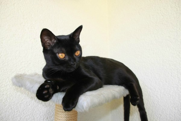 породы кошек Бомбей