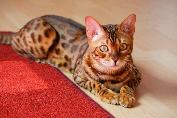 Размеры котов по см