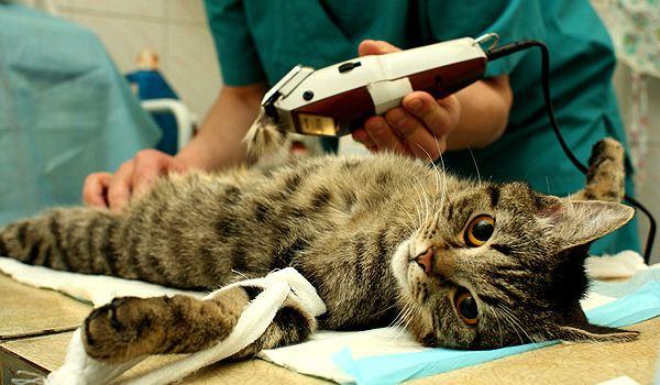 кота подготавливают к кастрации