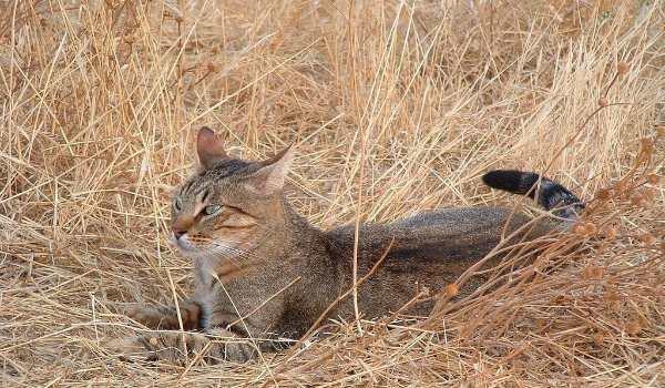 камышовый кот ищет кошку