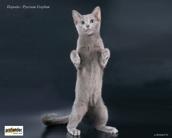 Русская голубая кошка стоит на задних лапках