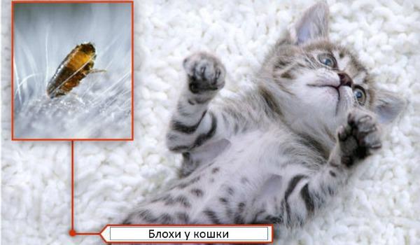 блохи у котят