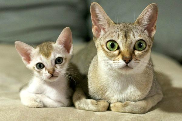 породы кошек Сингапура