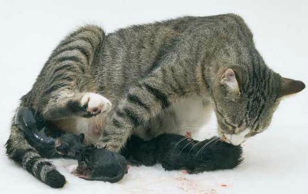 кошка рожает котят