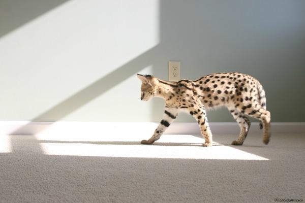 савана кошка