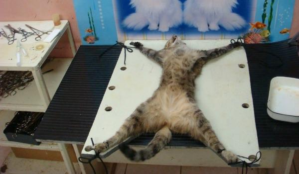 привязанный кот на столе под кострацию