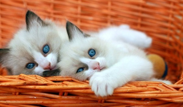рэгдоллы котята