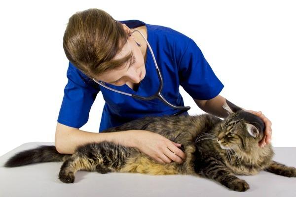 кошка на консультации у ветеринара