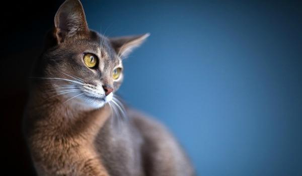 Абиссинская короткошёрстная кошка красавица