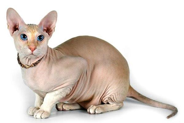 порода кошек Петербургский сфинкс петерболд