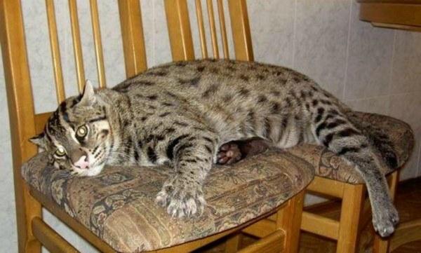 камышовый кот лежит на стульях
