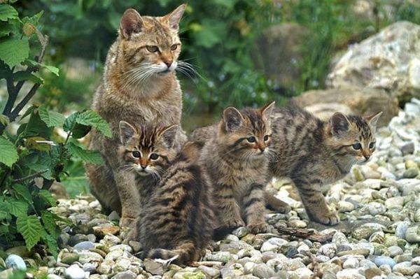 камышовая кошка с котятам
