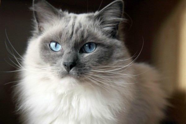 Ragdoll-cat[1]