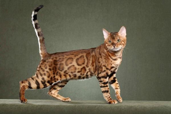 порода кошек Сафари