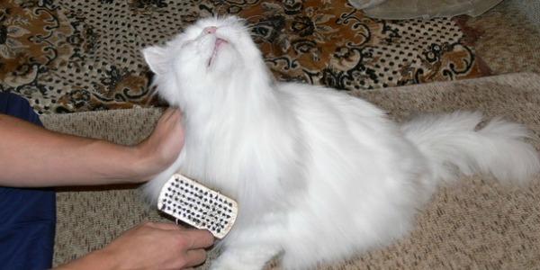 персидская кошка вычесывание