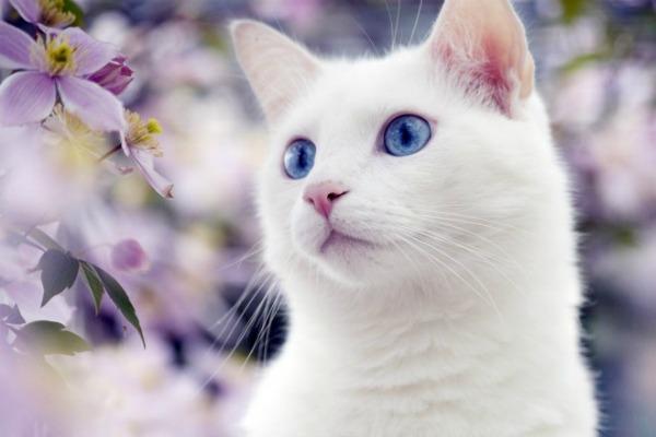 Као мани белая кошка с голубыми глазами