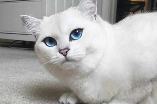 британская белая кошка по имени коби