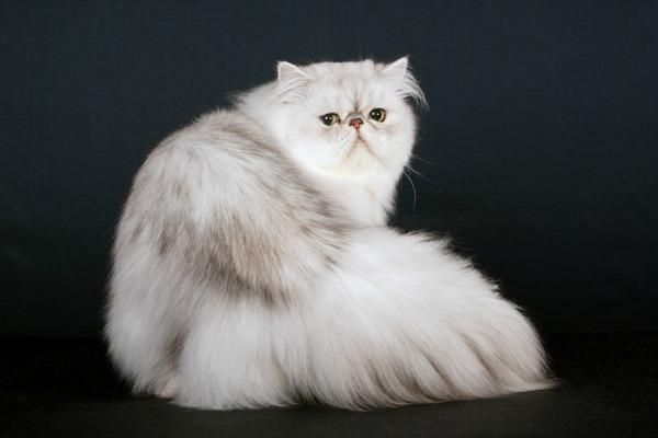 chinchilla-cat[1]