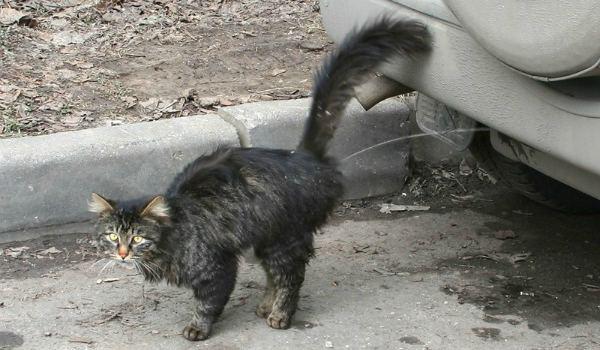 кот помечает свою территорию