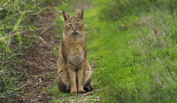 камышовый кот в лесу