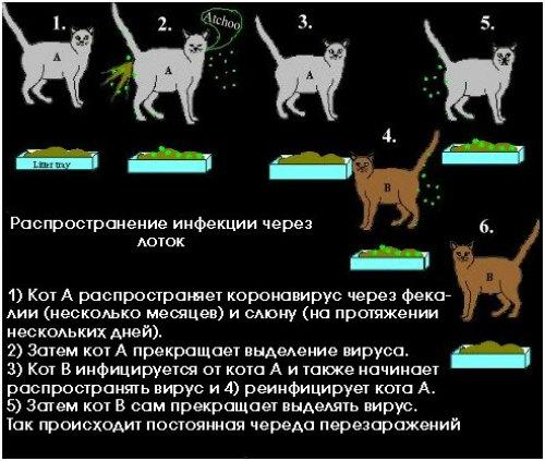 симптомы коронавируса у котов
