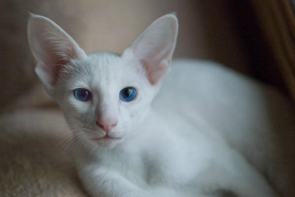 Ориентальная белая кошка