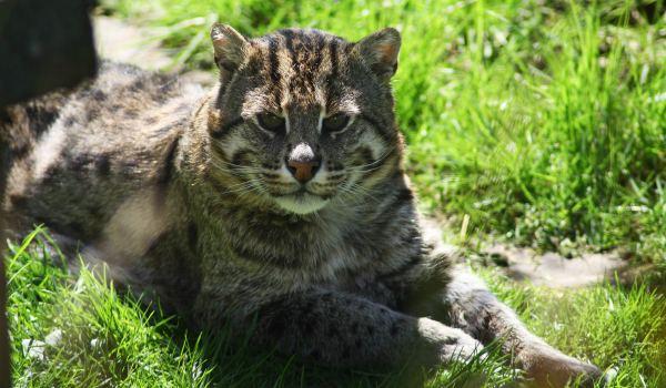 камышовая кошка лежит на траве