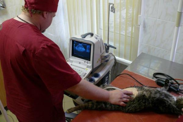 обследование беременной кошки