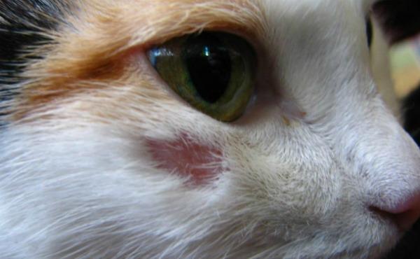 выпадения шерсти от лишая у кошки