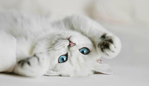 фото породы кошки с голубыми глазами