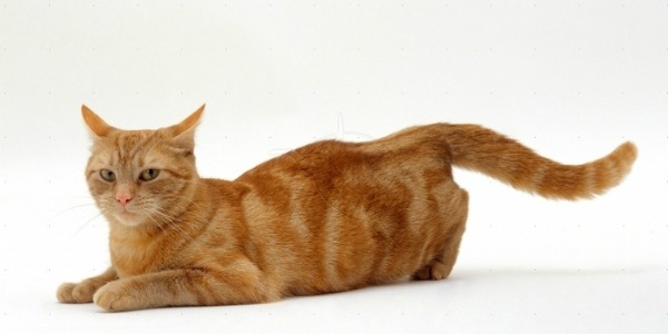 у кошки течка