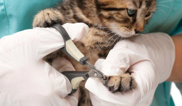 ветеринар подстригает когти кошке