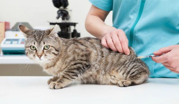 коту делают прививку