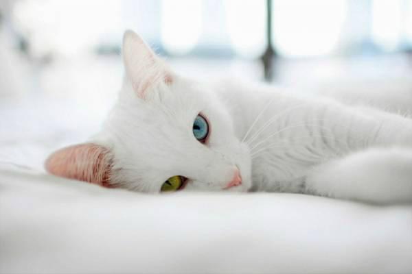 порода кошек Као-мани