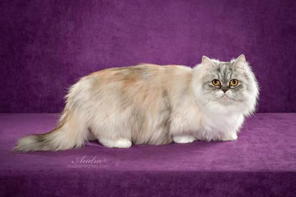 порода кошек Наполеон