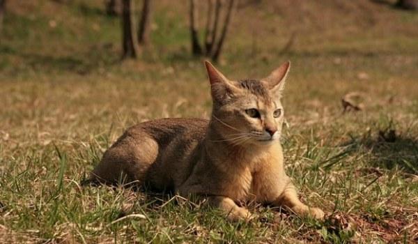 кошка Хауси