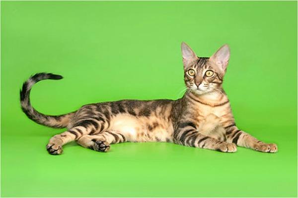 породы кошек Сококе