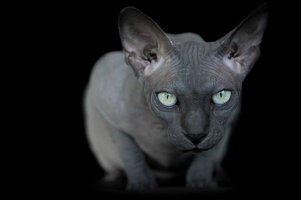 sphynx_cat13[1]