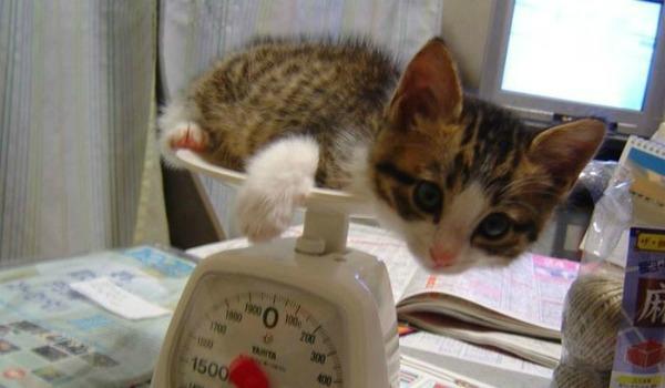 сколько весит котенок