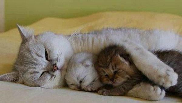 кошка мурчит котятам