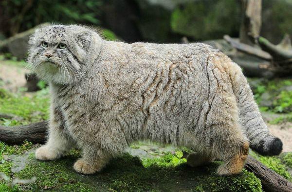 корни манула от персидской кошки