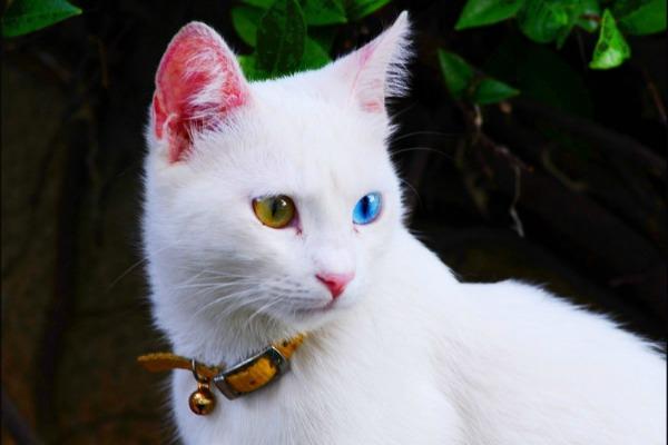 ванская белая кошка