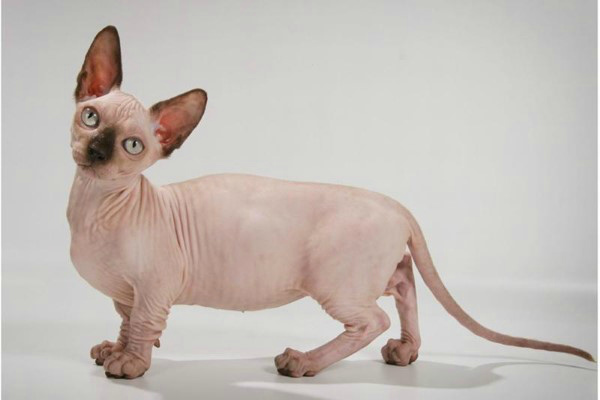бамбино кошка