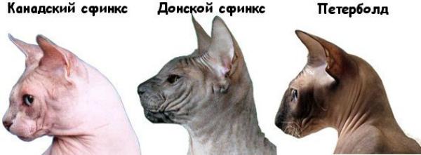 различие лысых кошек