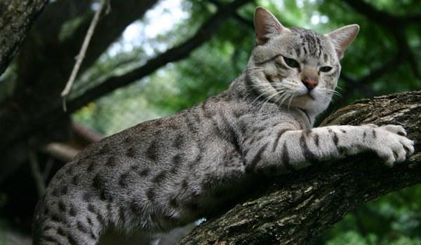 Австралийский дымчатый кот