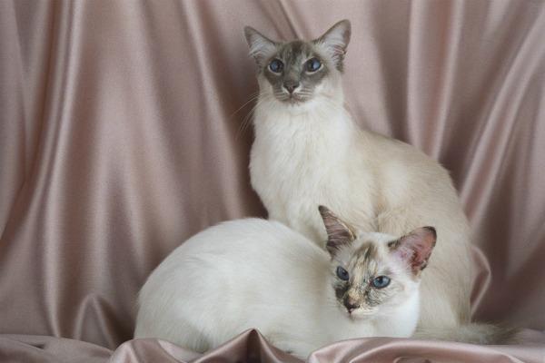 Балийская порода кошки