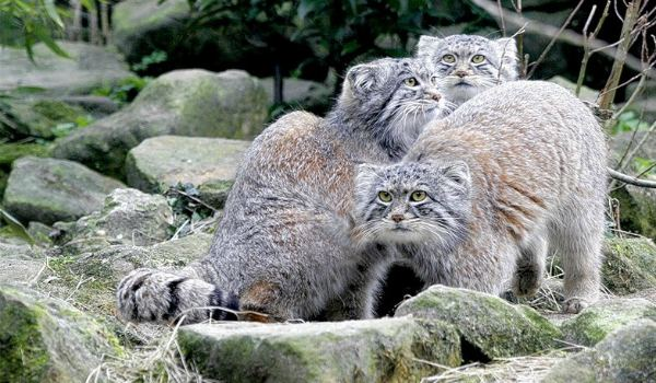 3 лесных кота