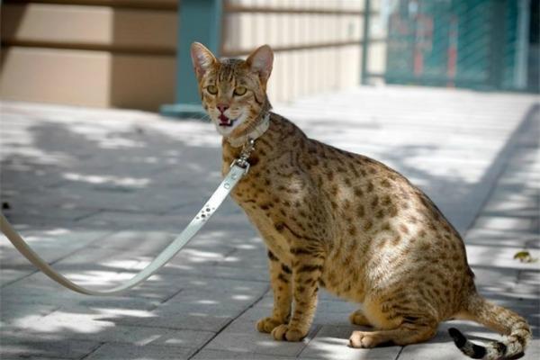 ашера кошка